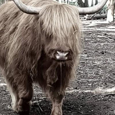 Longhorn grazer